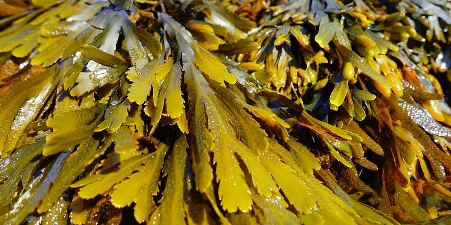 seaweed spirulina